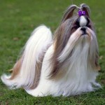 Shih Tzu Dog Information