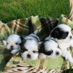 About Shih Tzu Puppies