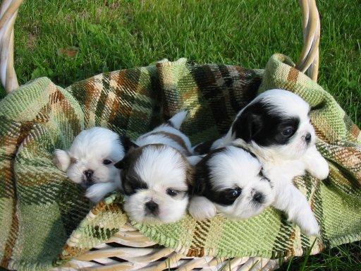 About Shih Tzu Puppies